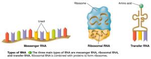 types-of-RNA