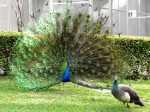 peacock_display