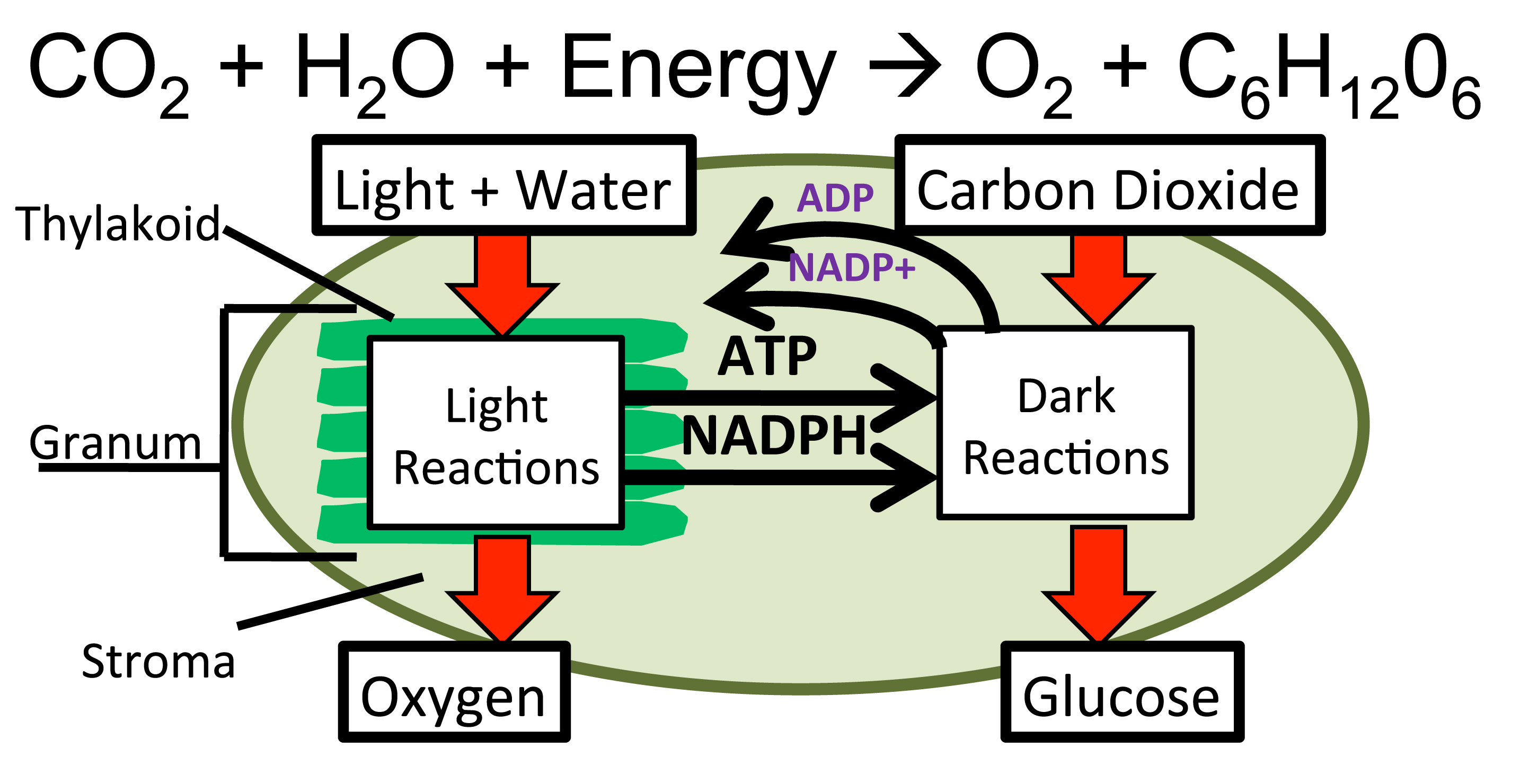 photosynthesis simple